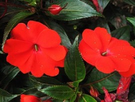 Цветок бальзамин комнатный уход фото