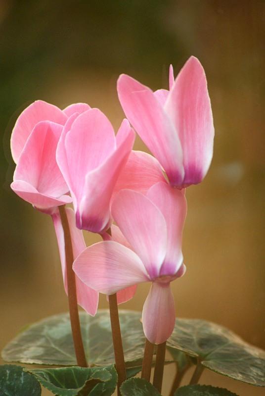 как выглядит цветок цикламен