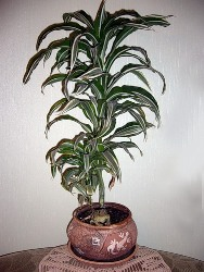 Драцена деремская (Dracaena deremensis) фото