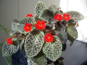 Эписция цветок фото