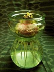 Гиацинт в домашних условиях. Выгонка гиацинтов. Фото