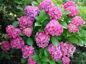 Роскошная гортензия – посадка и уход в саду