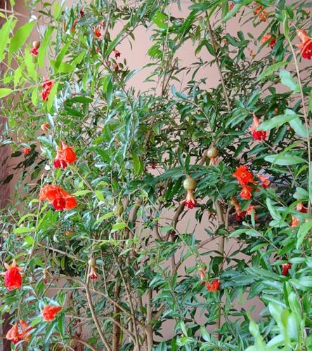 Благоухающие гиацинты: посадка и уход в открытом грунте