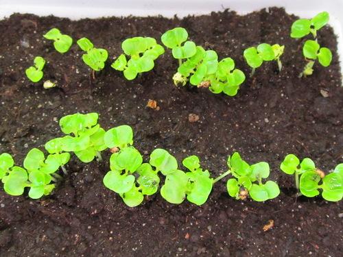 Комнатный гранат - выращивание из семян