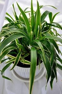 Хлорофитум хохлатый (Chlorophytum comosum variegatum) фото