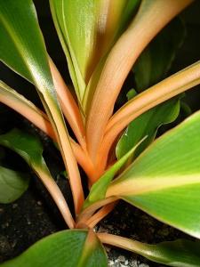 Хлорофитум крылатый (Chlorophytum amaniense 'Fire Flash') фото