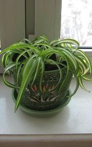 Хлорофитум кудрявый (Chlorophytum comosum bonnie)