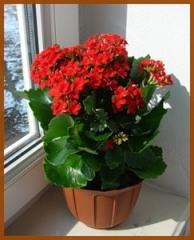 Почему не цветёт каланхоэ и как заставить его цвести?