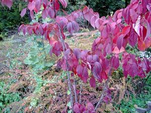Декоративные плодовые деревья: краснолистная алыча или слива Писсарда