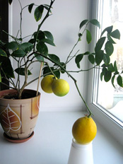 Как вырастить лимон из косточки, Растим растения!