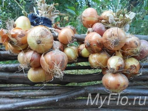 Настой луковой шелухи – для огорода