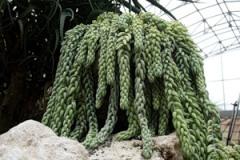 Очиток седум растение садовое и
