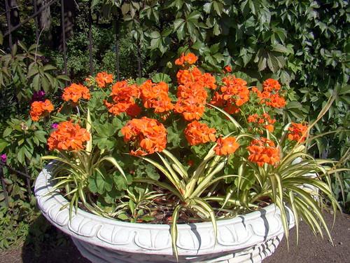 Пеларгония зональная - посадка в саду