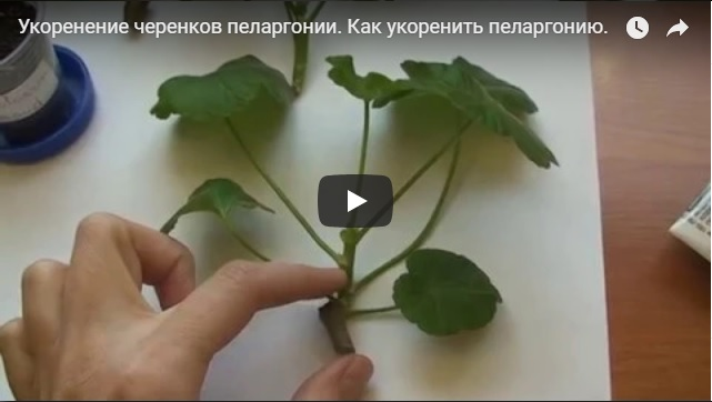 Смотреть видео о размножении пеларгонии (герани) черенками