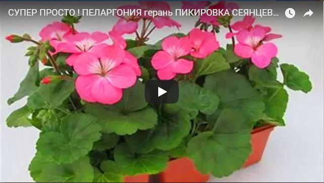 Смотреть видео о пикировке сеянцев пеларгонии (герани)