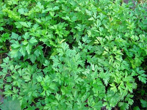 Петрушка выращивание. Петрушка листовая
