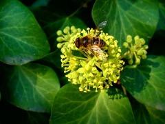 Плющ цветёт. Фото