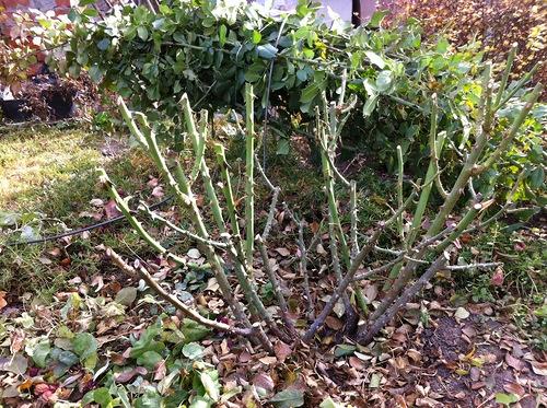 Подготовка роз к зиме, укрытие и обрезка роз осенью