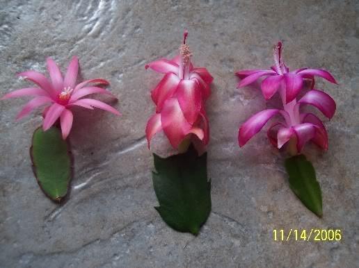 Шлюмбергера рипсалидопсис отличие цветка