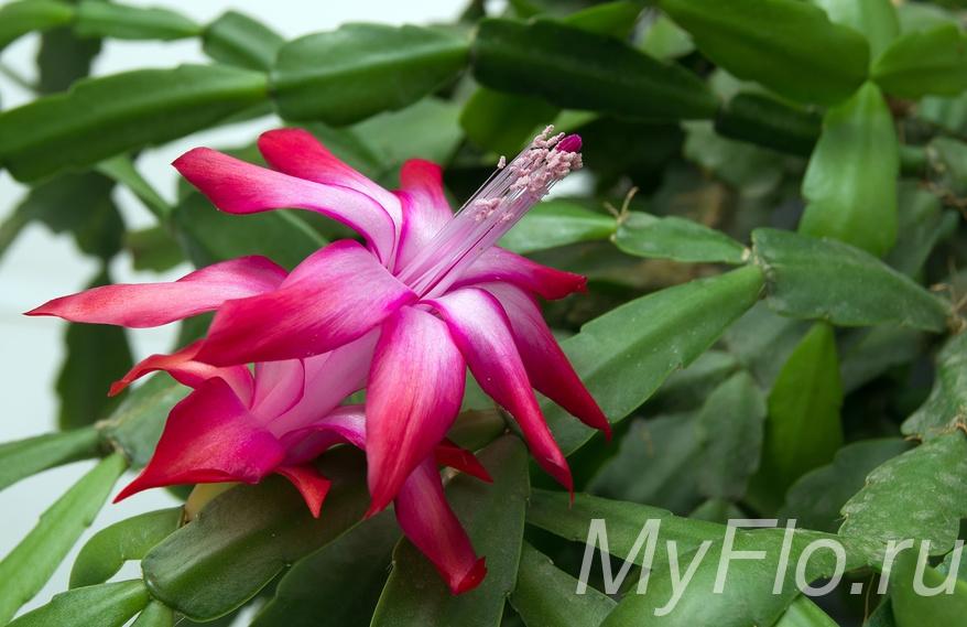 Шлюмбергера цветение