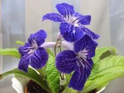 Черенки и семена стрептокарпусов, или способы размножения растения