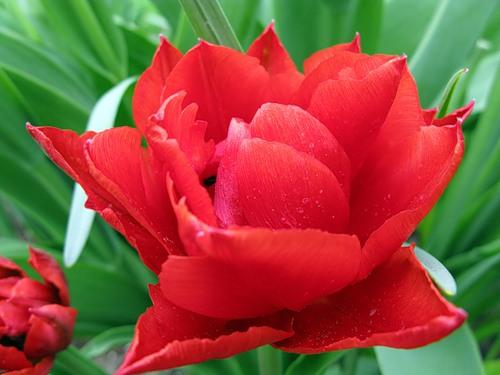 Тюльпаны  Abba