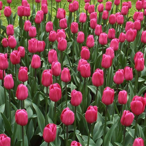 Тюльпаны  Barcelona