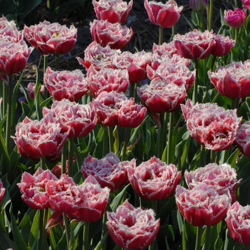 Тюльпаны  Brest