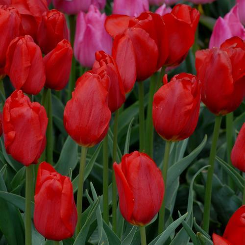 Тюльпаны Charles