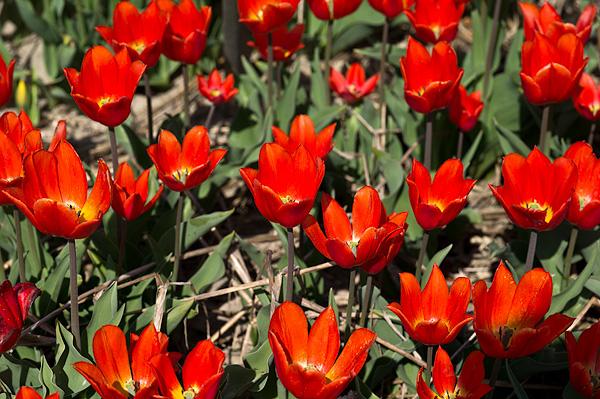 Тюльпаны  Duc Van Tol Orange