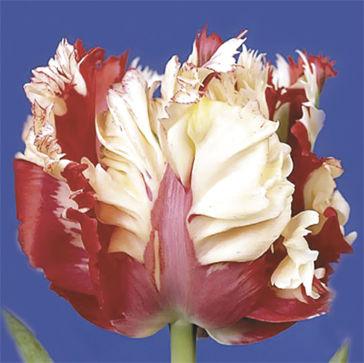 Тюльпаны Gay Presto