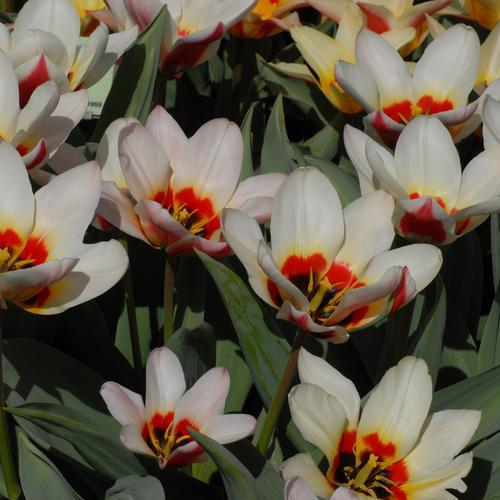 Тюльпаны Humoresque