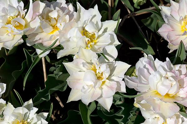Тюльпаны  Murillo