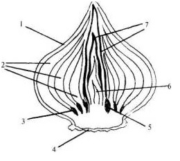 Строение луковицы тюльпана