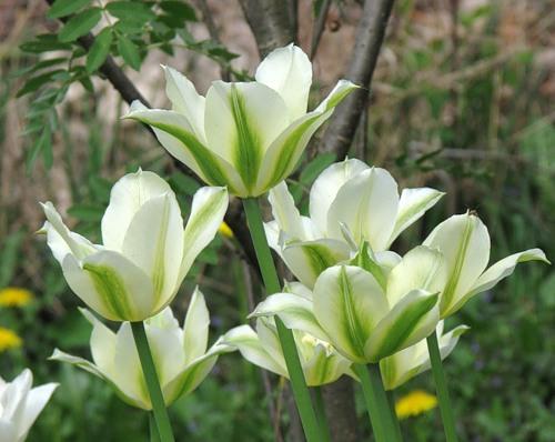 Тюльпаны Spring Green