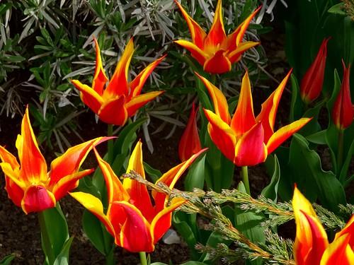 Тюльпаны посадка в грунт