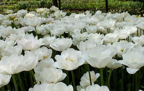 Тюльпаны переопыление