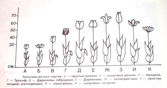 Тюльпаны классы
