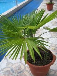 финиковая пальма из косточки в домашних условиях как посадить