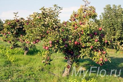 Яблоня посадка и уход